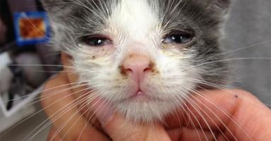 "Zarazna kijavica mačaka - ""mačji grip"""